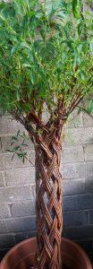 plaited tree