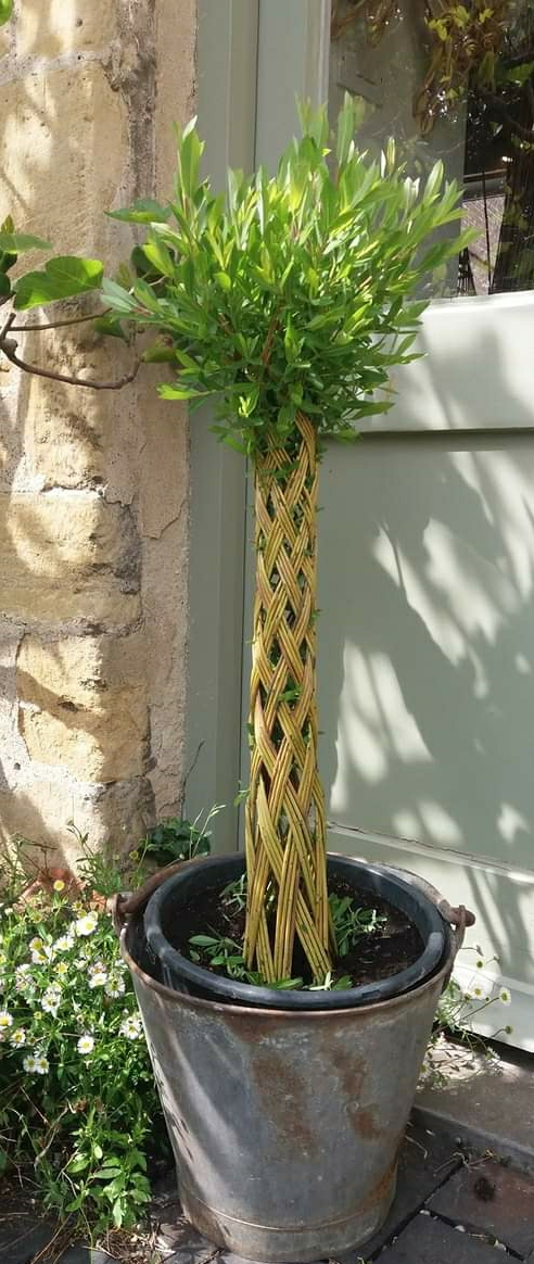 plaited living willow tree